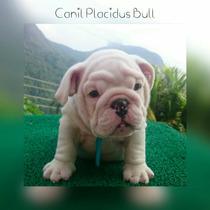 Bulldog Inglês- Filhotes Machos, Mãe Importada Dos Eua.