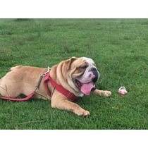 Bulldog Inglês Para Cobertura