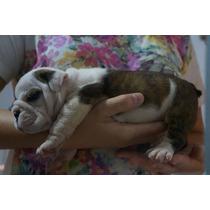 Filhotes De Bulldog Inglês Pedigree Cbkc