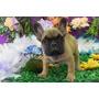 Bulldog Francês Filhote Macho Canil Cnpj -registrado Cbkc