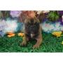 Bulldog Francês Macho Adulto 2 Anos