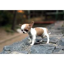 Lindos Filhotes De Chihuahua, Só Com A Pet Store