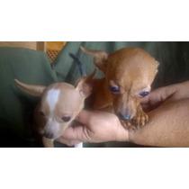 Filhotes De Chihuahuas Vendido