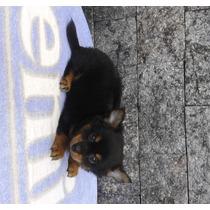 Chihuahua Filhote Macho Com Pedigree,vacinado Até 12x