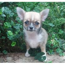 Chihuahua Fêmea Genética Campeões Europeus.