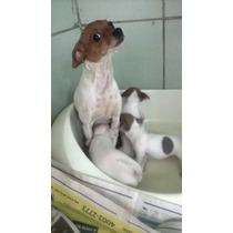 Chihuahua 1 Femea Nasceu 14/09/2015 Cor Braca E Caramelo .