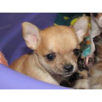 Filhote De Chihuahua Fêmea Pelo Curto ( Pais Com Pedigree )
