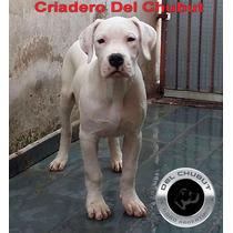 Filhotes De Dogo Argentino Canil Del Chubut Entrega Imediata