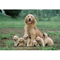 Filhotes De Golden Retriver Fêmea $1000,00 Macho $800,00