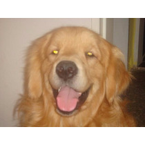 94733 Filhotes 2021 De Golden Retriever