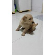 Golden Retriever Filhote Macho