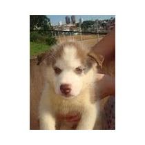 Filhotes De Husky Siberiano Vacinado Vermifugados Pedigree G