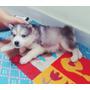 Vendo Filhote De Husky Siberianos Lindos Alto Padrão