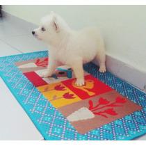 Filhote De Husky Siberiano Pedigree Garantia Entrego Em 2 Hs