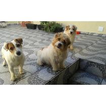 Plantel Jovem De Jack Russek Terrier