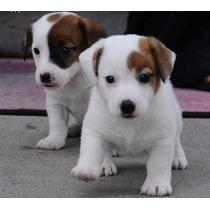 Lindos Filhotes De Jack Russel, Só Com A Pet Store