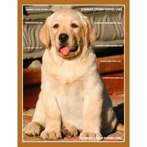 Filhote De Labrador Amarelo