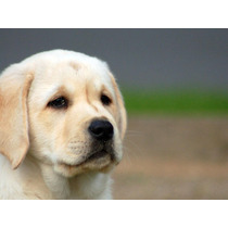 Filhote De Labrador (porte Ingles)