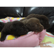 Filhotes De Labrador Chocolate Com Olhos Azuis