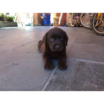 Lindos Filhotes Labrador Chocolate !