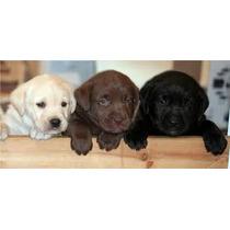 Labrador (amarelo, Preto E Chocolate) Lindos Filhotes