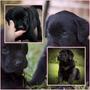 Lindos Filhotes Labrador, Só Com A Pet Store