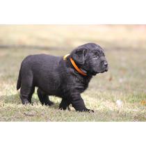 Filhote Labrador Alto Padrão
