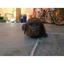 Filhotes Labrador Chocolate