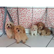 Cachorro Liaso Apson Macho E Femea Filhotes 2 Meses
