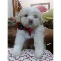 Cachorros Lhasa Apso Filhotes
