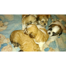 Vendo Cinco Filhotes De Cachorros Liaza Por Quinhentos Reais