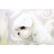 Lindos Filhotes De Maltês, Só Com A Pet Store
