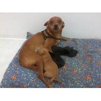 Pinches Mini, Filhotes De Cães Já Vacinados, Machos E Fêmeas