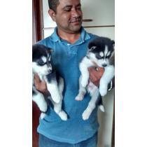 Husky Siberiano, Filhotes Vacinados, Machos E Fêmea