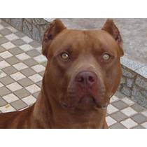 Filhotes American Pit Bull Terrier