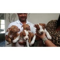 Pitbull Filhotes Vacinado Vermifugado Garantia Pedigree