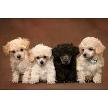 Vende-se Filhotes De Poodle Tenerife Lindos.