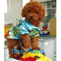 Filhotes Poodle Red - Canil Don Pietro - O Melhor Do Brasil.
