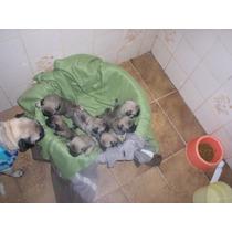 Filhotes Pug Abricot Machos