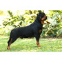 Rottweiler - Filhote Fêmea Filha De Grandes Campeões
