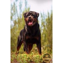 Rottweiler Magnífico Padreador Para Venda Linhagem Imp!