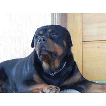 Rottweiler Filhote Cabeçudo Alemão Pronta Entrega