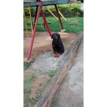 Rottweiler, Filhotes De Cães Já Vacinados, Machos E Fêmeas