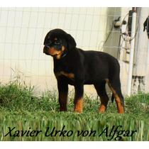 Rottweiler - Filhotes Altamente Selecionados- Pais Campeões