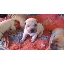 Canil Cambraias Dog, Nova Ninhada Para Junho Dia 05/06