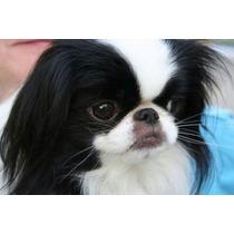 Filhote De Cachorro Japanese Chin