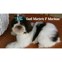 Shih Tzu Macho Branco E Chocolate