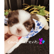 Mini Shih Tzu Branco E Chocolate Pedigree Cbkc