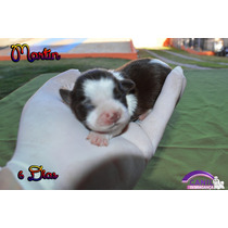 Shih Tzu Branco Chocolate Filhote Macho Pedigree Cbkc.top