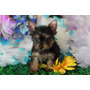 Yorkshire Terrier Macho Microchipado-com Pedigree-vacina